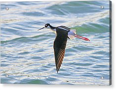 Black-necked Stilt 8 Acrylic Print