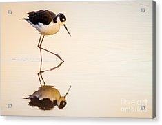 Black-necked Stilt Acrylic Print by Emily Bristor
