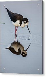 Black-necked Stilt Reflection Acrylic Print