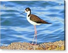 Black-necked Stilt Acrylic Print