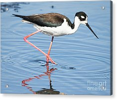 Acrylic Print featuring the photograph Black-necked Stilt Wading  by Ricky L Jones