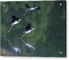 Black-necked Stilts 4302-080917-2cr Acrylic Print