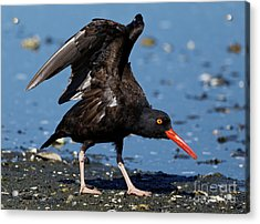 Black Oyster Catcher Acrylic Print