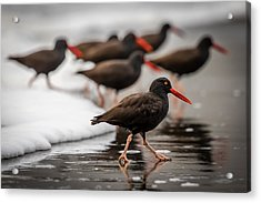 Black Oystercatcher Acrylic Print by Gary Migues