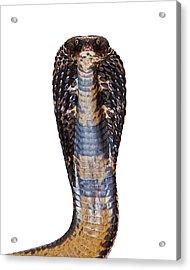 Black Pakistani Cobra Looking Into Camera Acrylic Print by Susan Schmitz