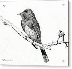 Black Phoebe Acrylic Print