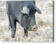 Acrylic Print featuring the photograph Black Pig Close-up by James BO Insogna