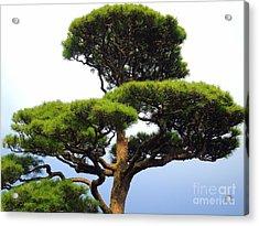Black Pine Japan Acrylic Print