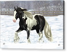Black Pinto Gypsy Vanner In Snow Acrylic Print
