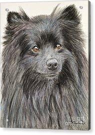 Black Pomeranian Painting Acrylic Print