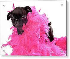 Black Pug Puppy With Pink Boa Acrylic Print by Susan Schmitz