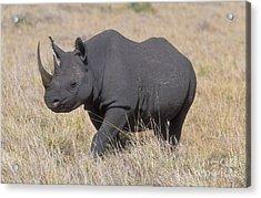 Black Rhino On The Masai Mara Acrylic Print