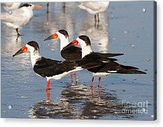 Black Skimmer Birds Acrylic Print by Chris Scroggins
