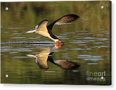 Black Skimmer Fishing Acrylic Print by Meg Rousher