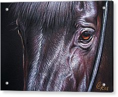 Black Stallion Acrylic Print