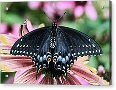 Black Swallowtail 3 Acrylic Print