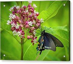 Black Swallowtail 54 Acrylic Print