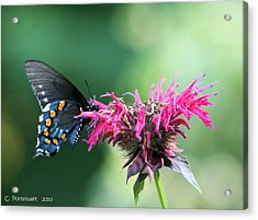 Black Swallowtail And Raspberry Fizz Monarda 2 Acrylic Print