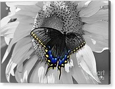 Black Swallowtail And Sunflower Color Splash Acrylic Print