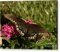 Black Swallowtail Butterfly On Pentas Acrylic Print