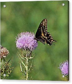 Acrylic Print featuring the photograph Black Swallowtail Butterfly by Sandy Keeton