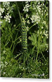 Acrylic Print featuring the painting Black Swallowtail Butteryfly Caterpillar by Chholing Taha