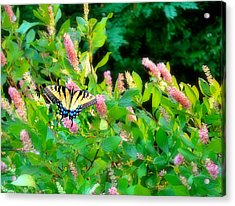 Acrylic Print featuring the photograph Black Swallowtail by EDi by Darlene