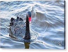 Black Swan 3 Acrylic Print by Kaye Menner