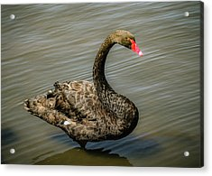 Acrylic Print featuring the photograph Black Swan by Alison Frank