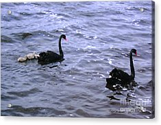 Black Swan Family Acrylic Print by Cassandra Buckley