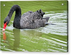 Black Swan Acrylic Print by Teresa Blanton