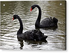 Black Swans Acrylic Print by Denise Swanson