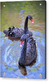 Acrylic Print featuring the photograph Black Swans by Susan Rissi Tregoning