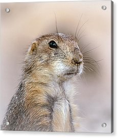 Black Tail Prairie Dog Acrylic Print