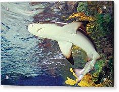 Black Tipped Reef Shark-1 Acrylic Print