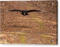 Black Vulture In Flight Acrylic Print by Chris Flees