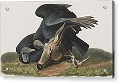 Black Vulture Or Carrion Crow Acrylic Print