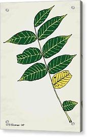 Black Walnut Leaf Illustration Acrylic Print by Jamie Jorgensen