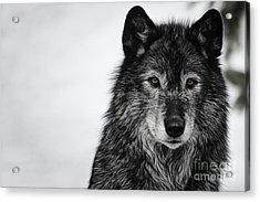 Black Wolf I Acrylic Print