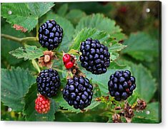 Blackberries 2 Acrylic Print
