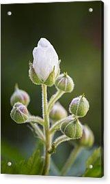 Blackberry Blossoms Acrylic Print by Adam Romanowicz