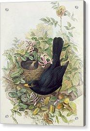 Blackbird,  Acrylic Print