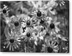 Blackeyed Susans In Black And White Acrylic Print by Paula Coley