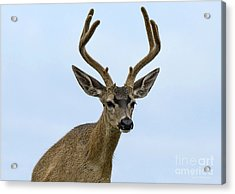 Acrylic Print featuring the photograph Blacktail Deer Showing Off Summer Antlers by Susan Wiedmann