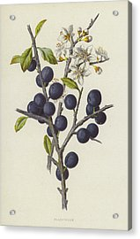 Blackthorn Acrylic Print by Frederick Edward Hulme