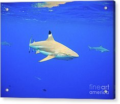 Blacktip Reef Shark Acrylic Print