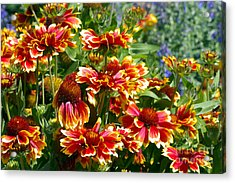 Blanket Flowers Acrylic Print by Sharon Talson