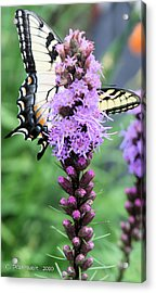 Blazing Stars And Yellow Swallowtails Acrylic Print
