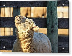 Bleating Sheep Acrylic Print