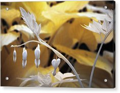 Bleeding Heart Gld Acrylic Print